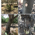 Figure for Phytophthora article