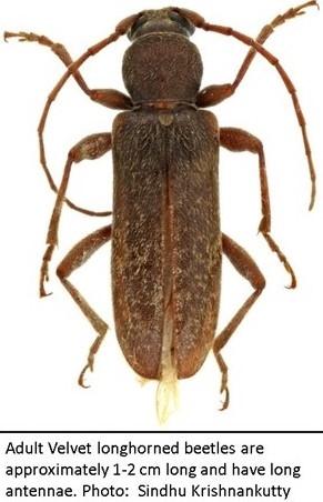 Velvet Longhorned beetle photo