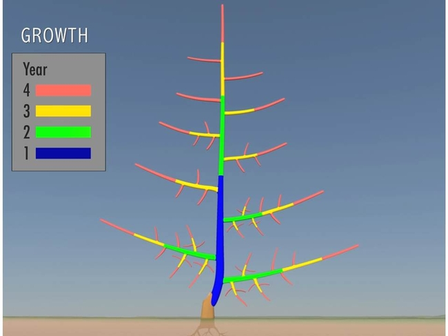 Still image of the tree growth animation displaying shoots and trunk produced each year over a four year period.