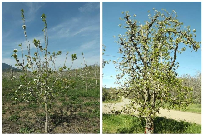 Picture 1. Abate (left image) and Bartlett (right image) pear varieties in Lake County. Note the striking differences in leaf size and bloom on north (right) and south (left) sides of each tree. Northern buds have small fruitlets, southern buds have flowers. Pictures taken by Alberto Ramos Luz.