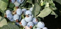California blueberries on the bush. for Fruit & Nut Center Updates Blog