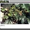 The thumbnail image accompanying text 'pops-up' for a detailed view. IPM photo©UC Regents.