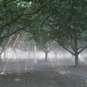 Walnut Canopy Management