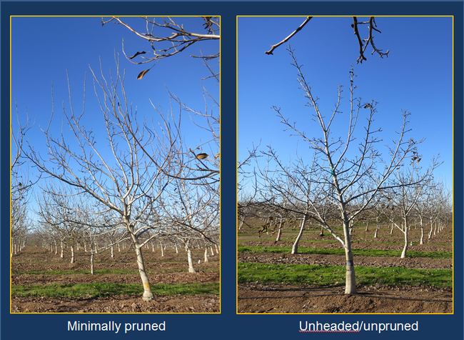 Walnut pruning research. Photos courtesy of J. Hasey, UCCE Farm Advisor Yuba-Sutter Counties