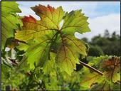 Red blotch and red veins on a leaf of Cabernet Franc grapevine.