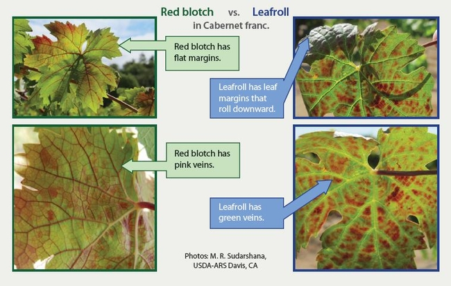 Red Blotch vs. Leafroll, from NCPN-Grapes Fact Sheet