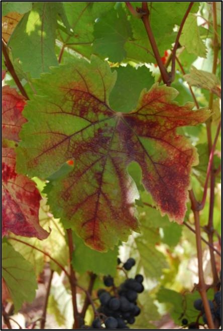 Red blotch and red vein symptoms of Grapevine Red Blotch associated Virus.
