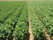 Pima (left) and Acala cotton grown side by side at early bloom. Photo by D. Munk
