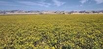 safflower field for IPM in field crops Blog