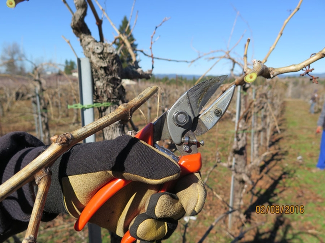 A hand with pruning shears cutting a grape cane.