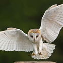 Barn owl flying- PC Linda Wright