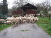 sheep move 1
