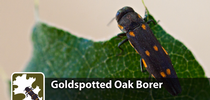GSOB Video Image for Goldspotted Oak Borer Blog