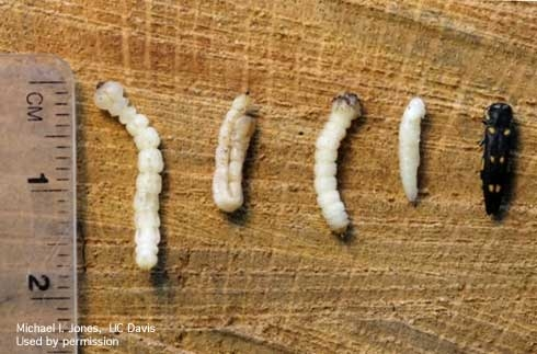 PHOTO:  Life states of the goldspotted oak borer.  From left: fourth-instar larva, fourth instar larva in a hairpin configuration and in a constricted form, pupa and adult.  Photo by Mike I. Jones.