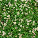 white-clover-trifolium-repens