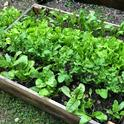 2020 Summer Vegetable Gardening - Milnes