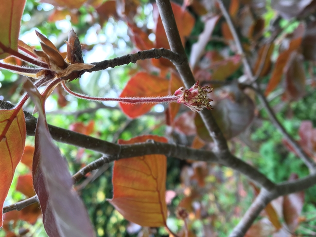 Hort Terms Photo - Beech Pubescence