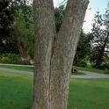 Multiple trunks - Inspect where the trunks meet
