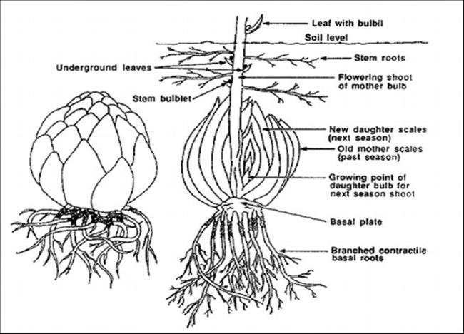 Bulbs01