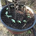 """Bird """"netting"""" over bean seedlings made with repurposed chicken wire"""
