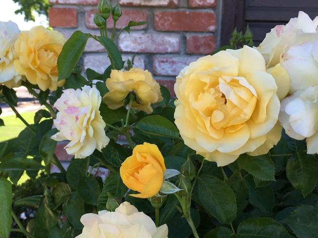 Julia Childs rose, a 2006 AARS winner
