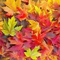Maple-Colors