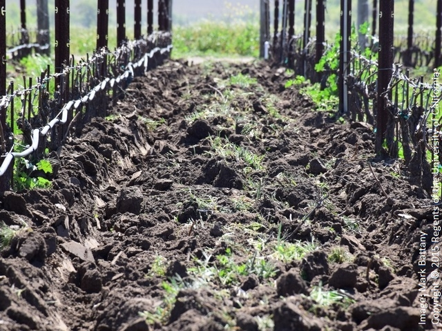Figure 3. The canes on these low-trained vines are a little over a foot above the ground surface; they will much more prone to frost damage if the cover crop is not tilled under.