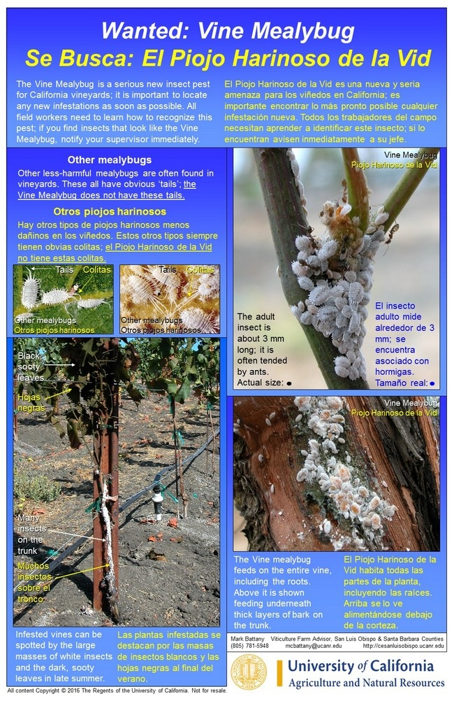 Figure 4. UCCE Bilingual Vine Mealybug Poster; the laminated poster measures 11