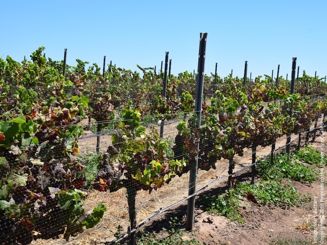 Figure 2. The consequences of a heavy population of vine mealybug. The pest effectively spread leaf roll virus throughout this Pinot Noir vineyard, which went from producing award-winning wines to having unsalable fruit in a decade.