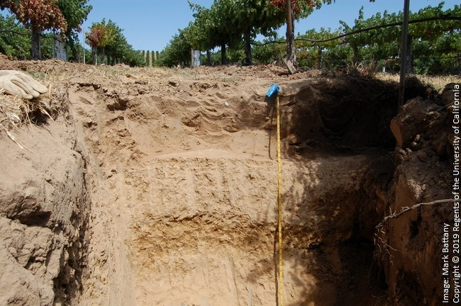 Figure 3. This hardpan layer became evident when irrigation volumes were increased, and vines subsequently collapsed.