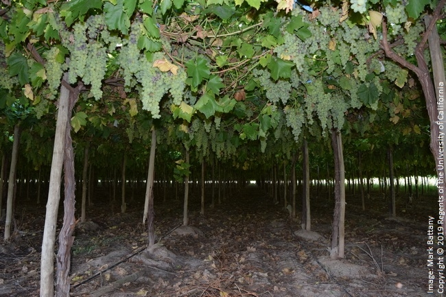 Figure 10. A raisin grape vineyard in Argentina affected by excessive nitrogen fertilizer; the resulting extremely dense canopy had almost no light penetration and very little ventilation, resulting in a total crop loss due to powdery mildew. This image was taken during the daytime.