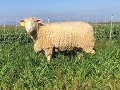 Organic vegetable farms could benefit from sheep grazing cover crops because it enhances  soil fertility, structure and water infiltration.