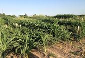 Sorghum growing in research plots at the UC Kearney Agricultural Research and Extension Center. (Photo: Peggy Lemaux)