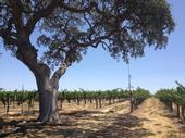 A blue oak stands in a vineyard. The bat echolocation microphone and yellow sticky card (to sample insects) at the top of the telescoping pole are attached to a vine post at the edge of the tree canopy.