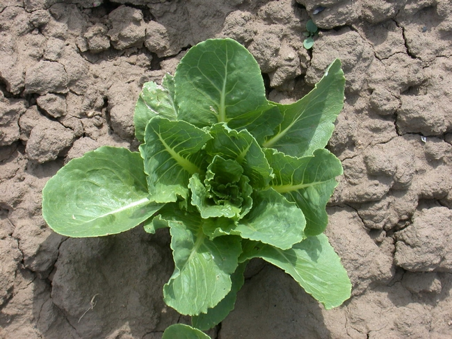In soils infested with the Fusarium fungus, 'Caesar' lettuce was highly disease resistant.