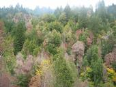 Dry, brown dead trees stand out from green, healthy trees in forest.