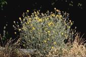 Mature yellow starthistle, Centaurea solstitialis