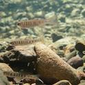 Juvenile steelhead trout, shown here in a small stream pool, are hit hard when water levels are low. (Ted Grantham photo)
