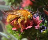 A male Valley carpenter bee on a tower of jewels (Photo: Kathy Keatley Garvey)