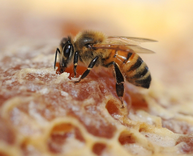 Honey bee on comb. (Photo by Kathy Keatley Garvey)