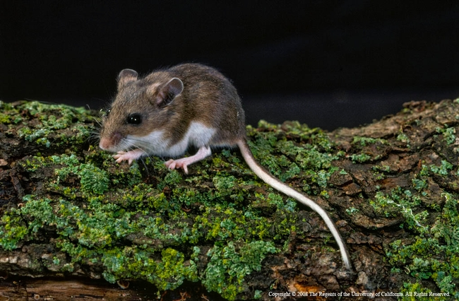 Deer mice are the most abundant and widely distributed mammals in North America.