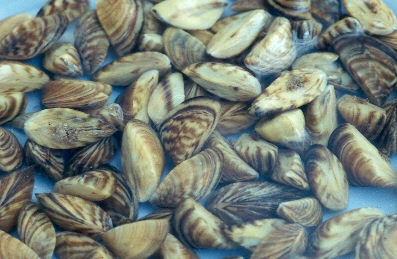 Zebra mussels (photo by Amy Benson / U.S. Geological Survey)