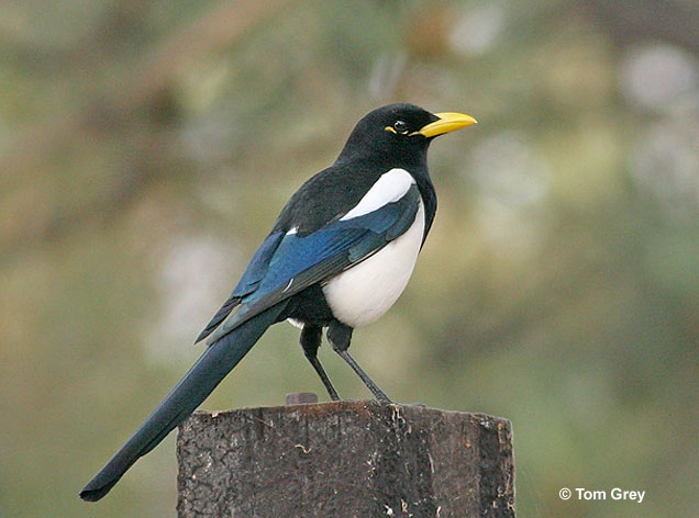 Yellow billed magpie.