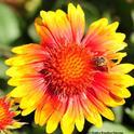 Honey bee on blanket flower, Gaillardia.  (Photo by Kathy Keatley Garvey)