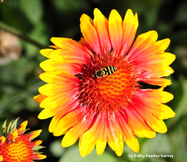 This floral visitor, a syrphid fly, is often mistaken for a honey bee. (Photo by Kathy Keatley Garvey)