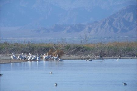 Pelicans stand on the shores of the Salton Sea.