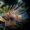 lionfish wikipedia small
