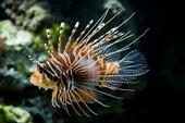 lionfish wikipedia small