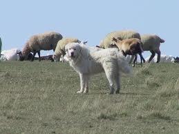 Try spotting sheep dogs among grazing sheep.