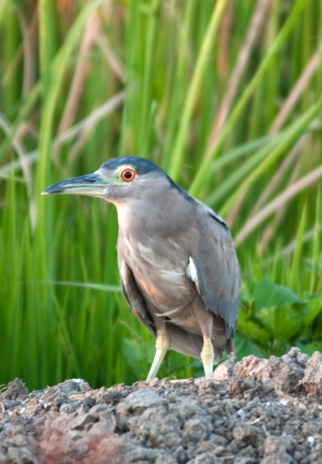 Black Crowned Night Heron (photo by Trina Wood)